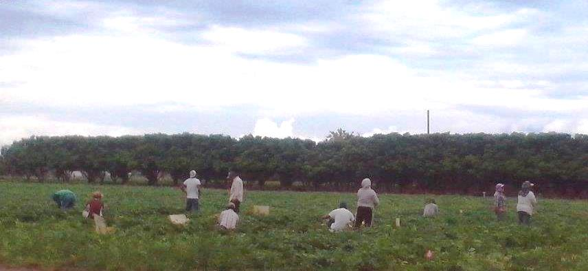 Migrant workers in the fields of Homestead, Florida.